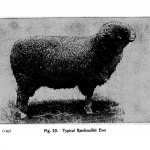 Animal - Range and Farm - Sheep - Black and White - Photo  (2)