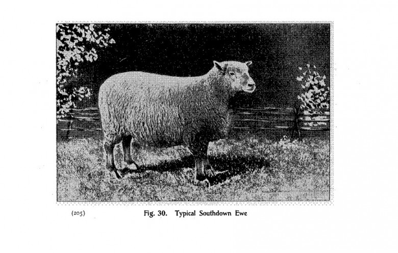 Animal - Range and Farm - Sheep - Black and White - Photo  (3)