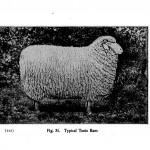 Animal - Range and Farm - Sheep - Black and White - Photo  (4)