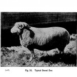 Animal - Range and Farm - Sheep - Black and White - Photo  (5)