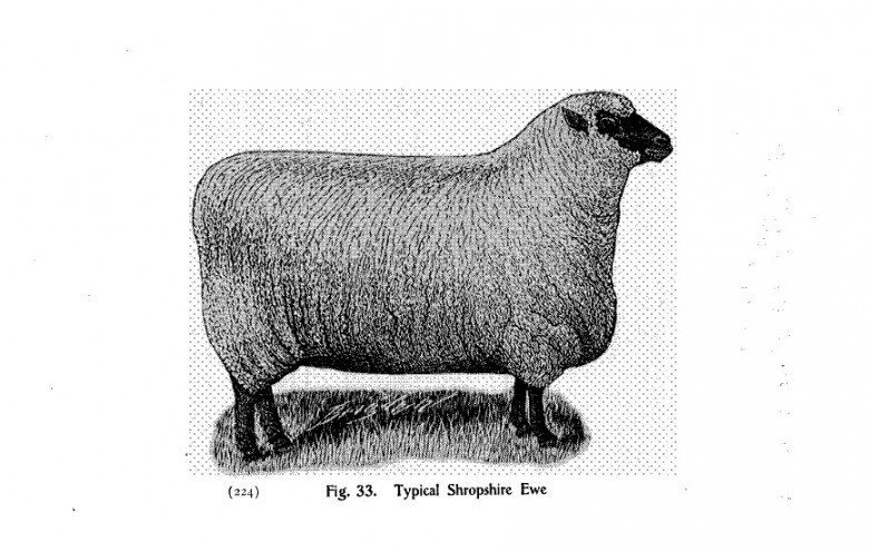 Animal - Range and Farm - Sheep - Black and White - Photo  (6)