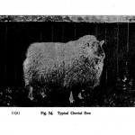 Animal - Range and Farm - Sheep - Black and White - Photo  (7)