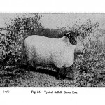 Animal - Range and Farm - Sheep - Black and White - Photo  (8)