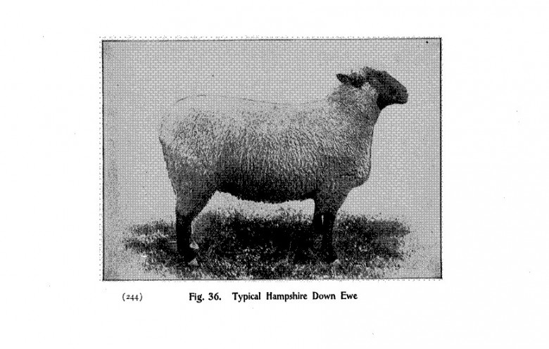 Animal - Range and Farm - Sheep - Black and White - Photo  (9)