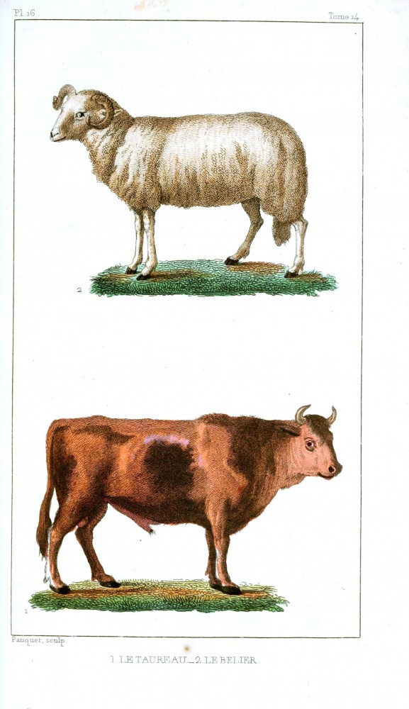 Animal - Range and Farm - Sheep -Cow - Buffon