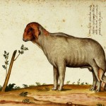 Animal - Range and Farm - Sheep - Deformed -  Italian