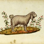 Animal - Range and Farm - Sheep - Italian