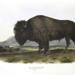Animal - Range and farm - Buffalo