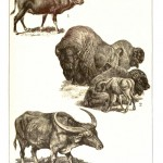 Animal - Range and farm - Educational plate - Buffalo, bison, wild ox