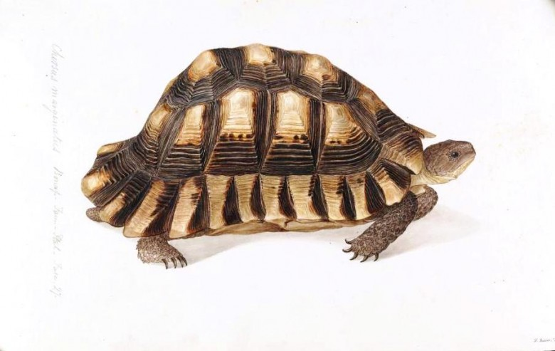 Animal - Reptile - Turtle -  (1)