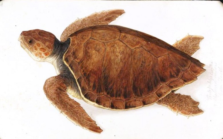 Animal - Reptile - Turtle -  (1B)