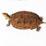 Animal - Reptile - Turtle -  (1C)
