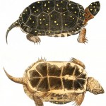 Animal - Reptile - Turtle -  (2A)