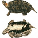 Animal - Reptile - Turtle -  (2B)
