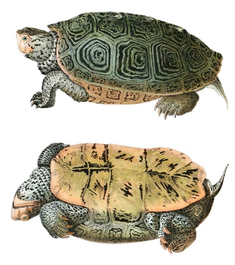 Animal - Reptile - Turtle -  (2C)