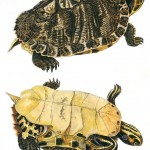 Animal - Reptile - Turtle -  (2D)