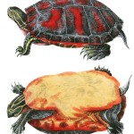 Animal - Reptile - Turtle -  (2E)