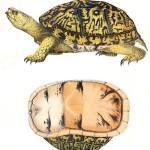 Animal - Reptile - Turtle -  (2F)