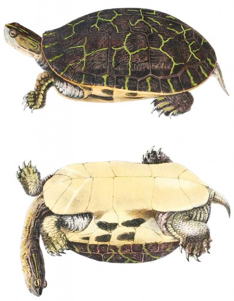 Animal - Reptile - Turtle -  (2G)