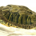 Animal - Reptile - Turtle - Green, German