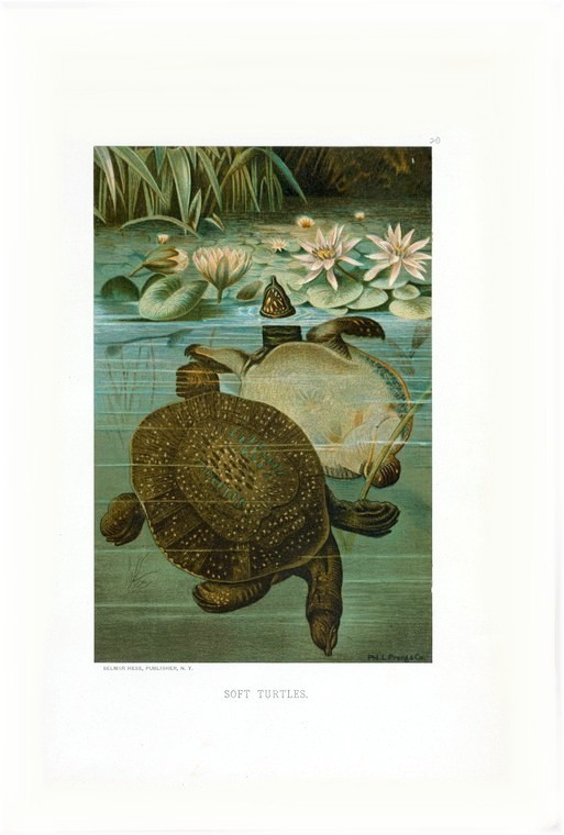 Animal - Reptile - Turtle -  Soft turtles