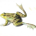 Animal - Reptile like - Frog