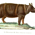 Animal - Rhinocerous - Buffon