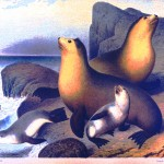 Animal - Sea Mammals - Seals - Illustration