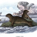 Animal - Sea mammal - British mammal (1896) - Common seal