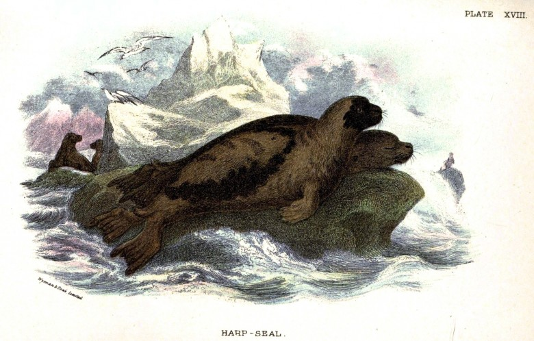 Animal - Sea mammal - British mammal (1896) - Sea mammal - Harp Seal