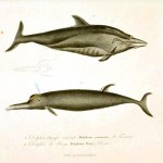 Animal - Sea mammal - Buffon - Dolphin (3)