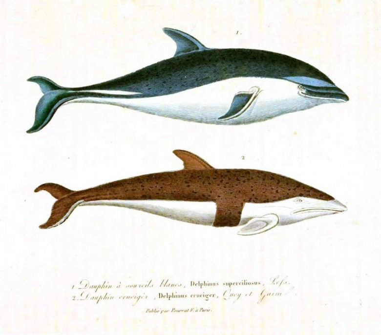Animal - Sea mammal - Buffon - Dolphin (4)