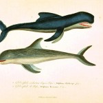 Animal - Sea mammal - Buffon - Whale (1)