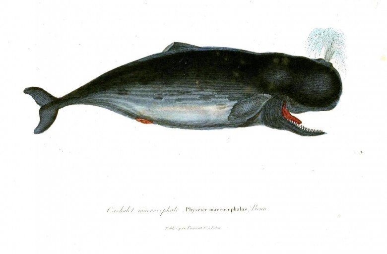 Animal - Sea mammal - Buffon - Whale (3)