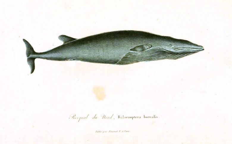Animal - Sea mammal - Buffon - Whale (4)