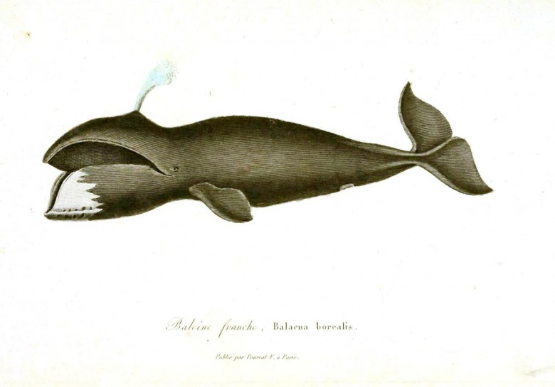 Animal - Sea mammal - Buffon - Whale (5)