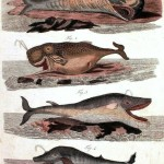Animal - Sea mammal - Educational Plate - Whales