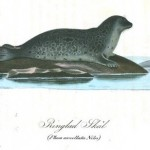 Animal - Sea mammal - Seal, spotted