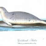 Animal - Sea mammal - Seal, white spotted