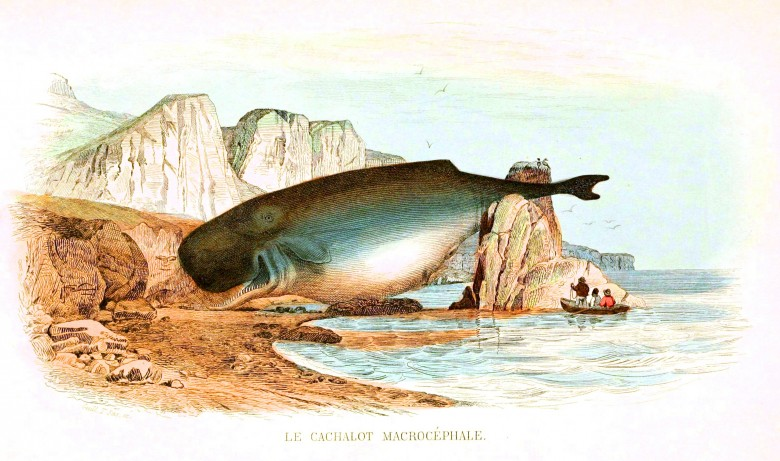 Animal - Sea mammal - Whale - French (2)