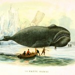 Animal - Sea mammal - Whale - French (4)