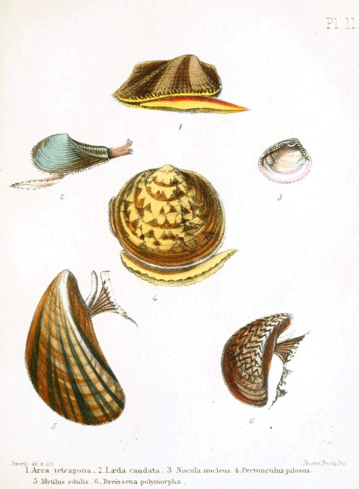 Animal - Seashell - Popular British Conchology  (10)