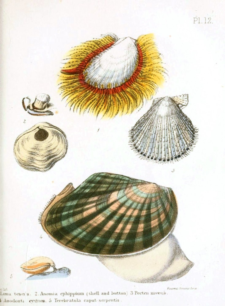 Animal - Seashell - Popular British Conchology  (11)