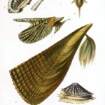Animal - Seashell - Popular British Conchology  (12)