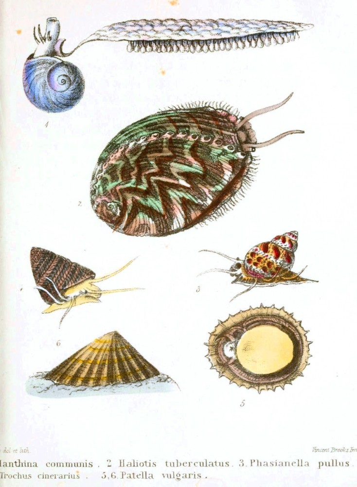 Animal - Seashell - Popular British Conchology  (13)