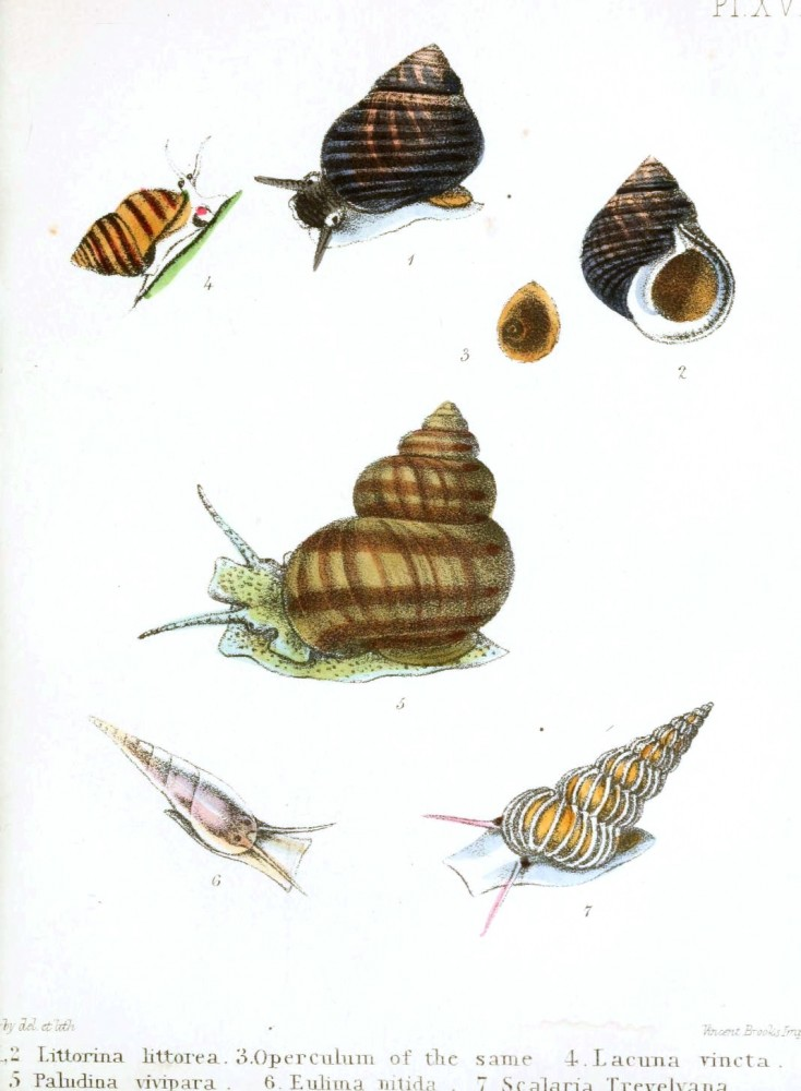 Animal - Seashell - Popular British Conchology  (14)