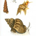 Animal - Seashell - Popular British Conchology  (15)
