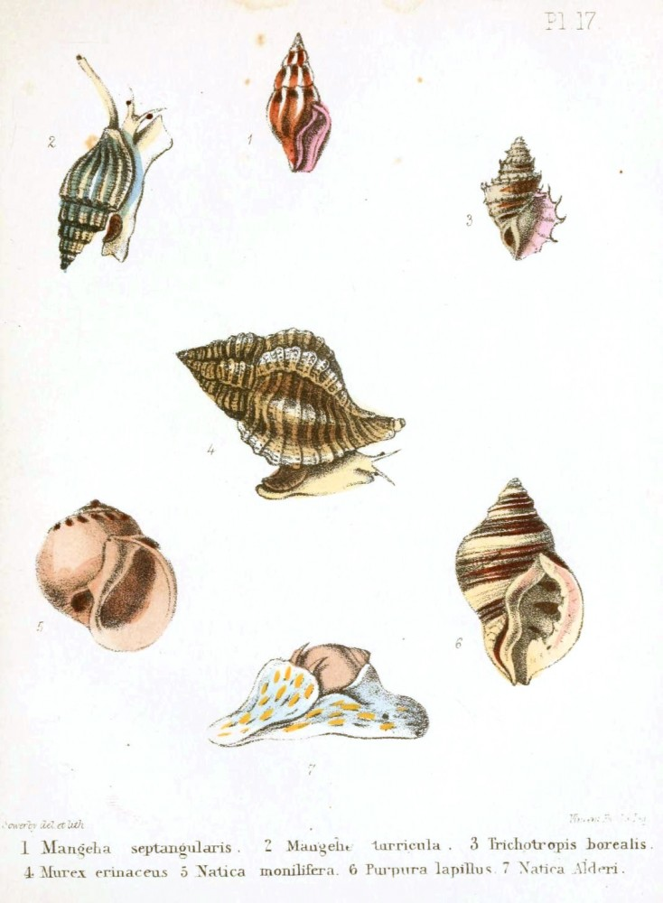 Animal - Seashell - Popular British Conchology  (16)