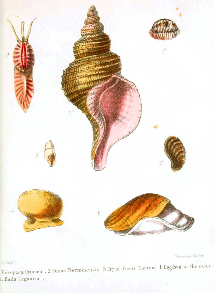 Animal - Seashell - Popular British Conchology  (17)