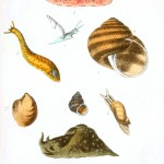 Animal - Seashell - Popular British Conchology  (18)